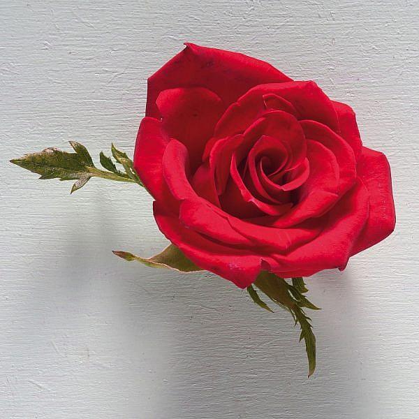 ורד. צילום: אנטולי מיכאלו