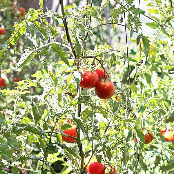 עגבניות של שף ארז קומרובסקי. צילום: מתן שופן
