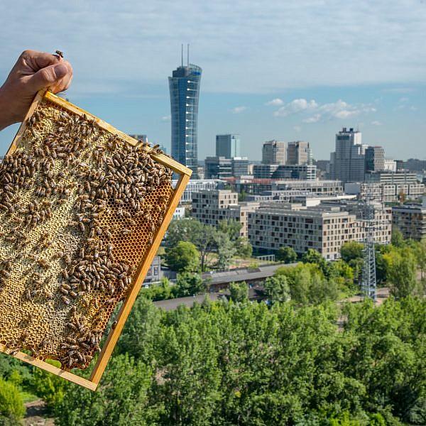 דבורים עירוניות בוורשה, פולין. צילום: Jowida Mormul
