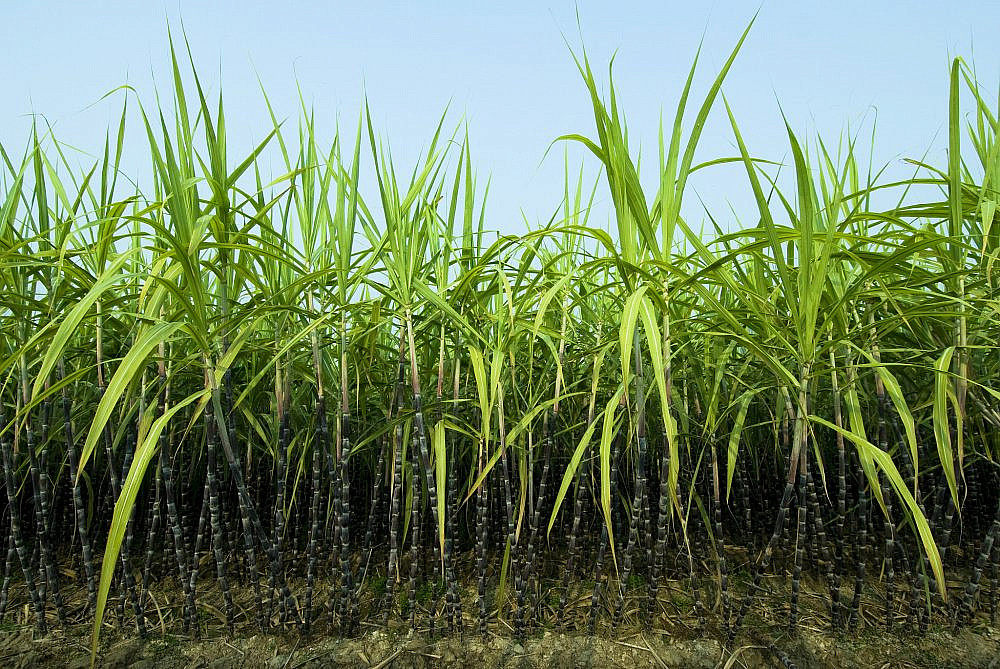 פעם מוצר יקר ויוקרתי, היום מוצר המזון הזול ביותר בסופר מטע קנה סוכר (צילום: GettyImages)