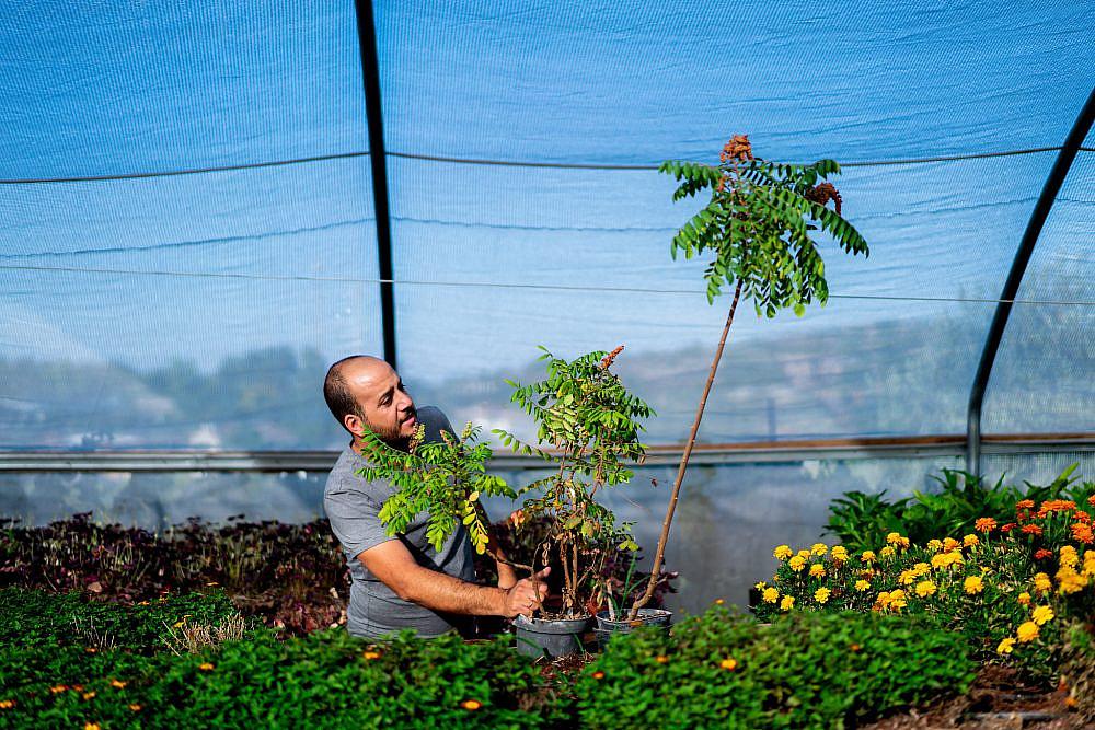 למידת הצמח ויצירת שינויים בתנאי הגידול שלו סומאק מבוית של ירוקל'ה. צילום: אסף קרלה