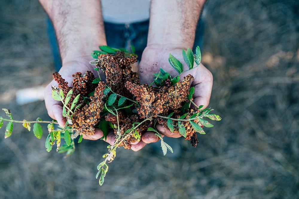 לחדד את התכונות הקולינריות של הצמח הפופולריפרחי סומאק. צילום: אסף קרלה