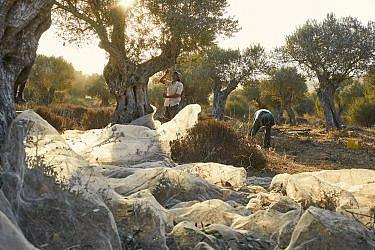 הקתרזיס של שנת גידול שלמה, מסיק במטע הזיתים של ריש לקיש, ציפורי (צילום: דן פרץ)