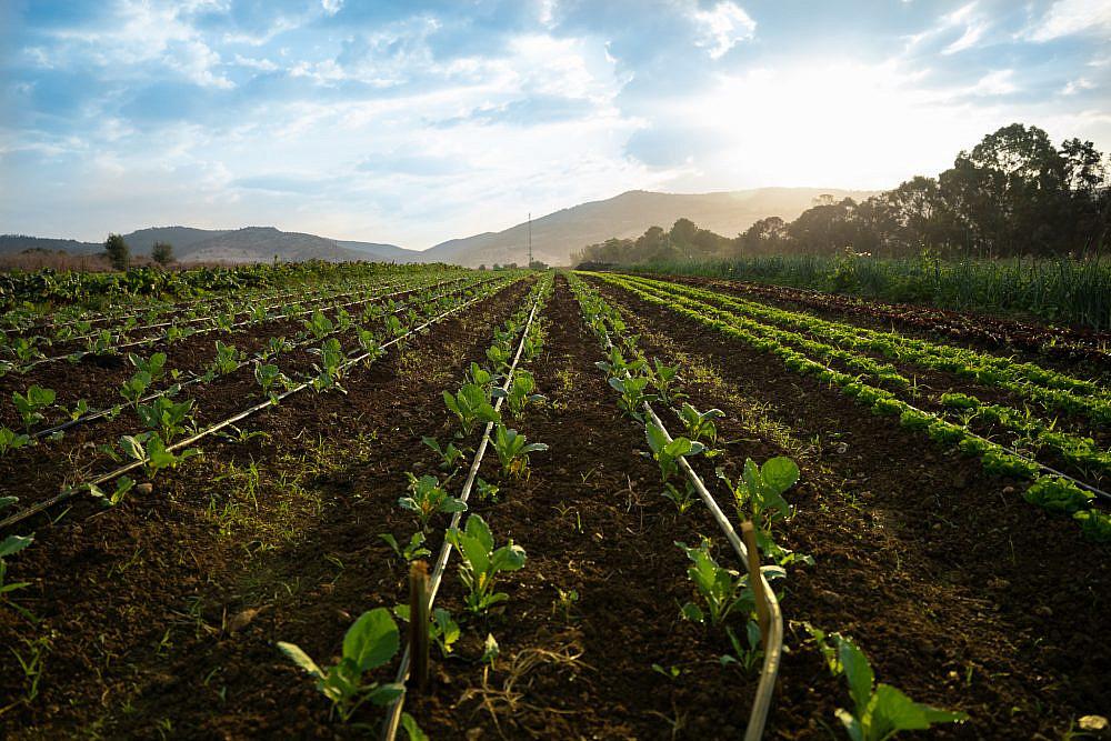 מחקלאי נדרשת נפש של מהמר משק חביביאן. צילום: מתן סוויסה