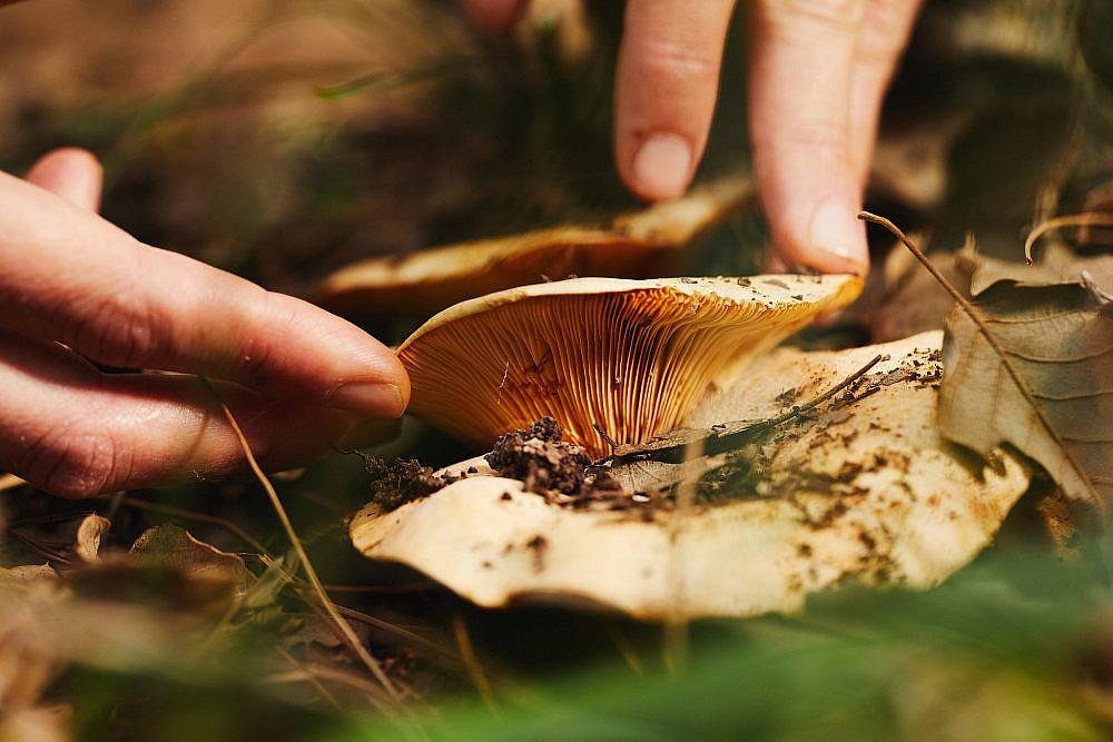 לא אוכלים עד שמזהים פטריות בר ביער באזור משגב (צילום: מתן כץ)