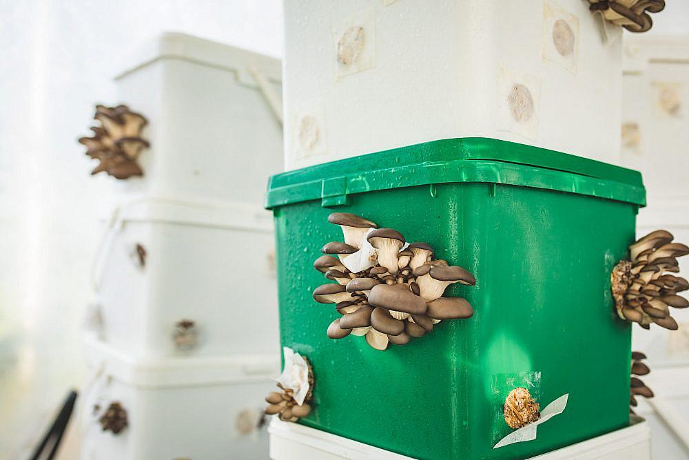"""אחרי שהפטריות מתחילות לגדול, מעבירים אותן למצע הגידול פטריות בחוות """"עםהאדמה"""" (צילום: שני בריל)"""