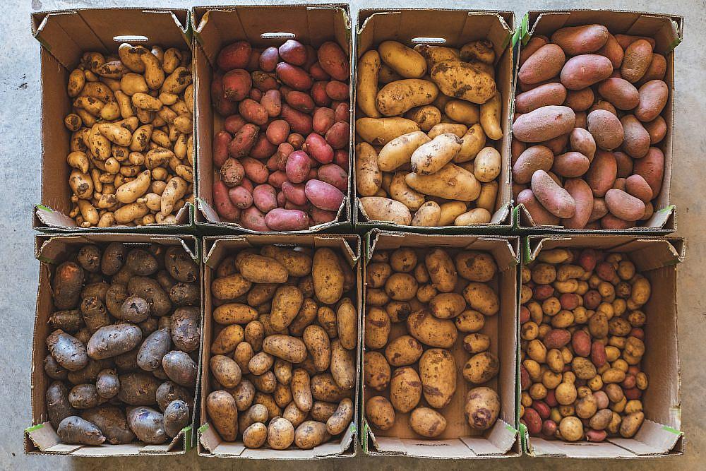 משמאל למעלה, בכיוון השעון: ראטה, דזירה, אליאנס, שרי, תפוחי אדמה קטנים, בלו בל, ניקולה, ויטלוט. תפוחי אדמה. צילום: שני בריל