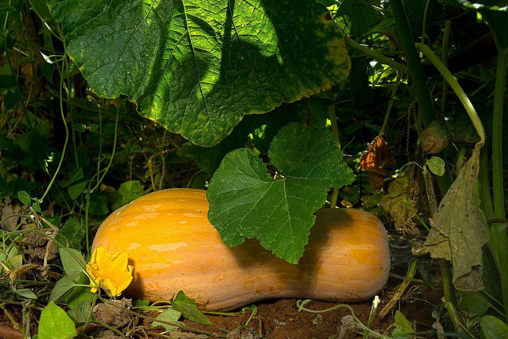 פרי מתוק בעל ניחוח אגוזי דלעת נפוליטנית (דלורית). צילום: מידן גיל ארוש