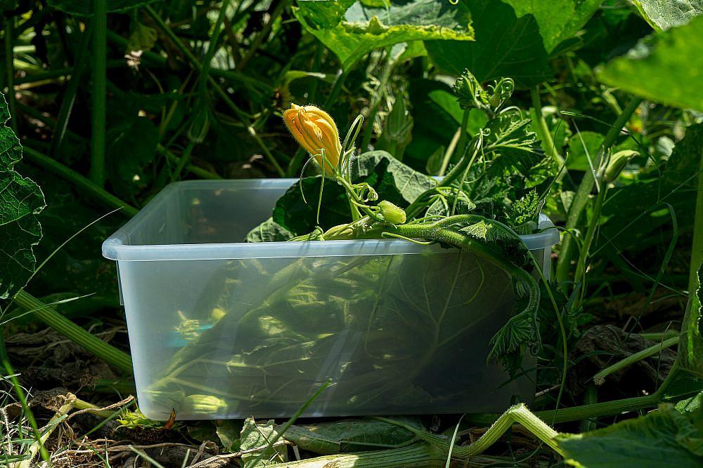 גבעולי הצמח מתאימים לבישול וצלייהצילום: מידן גיל ארוש